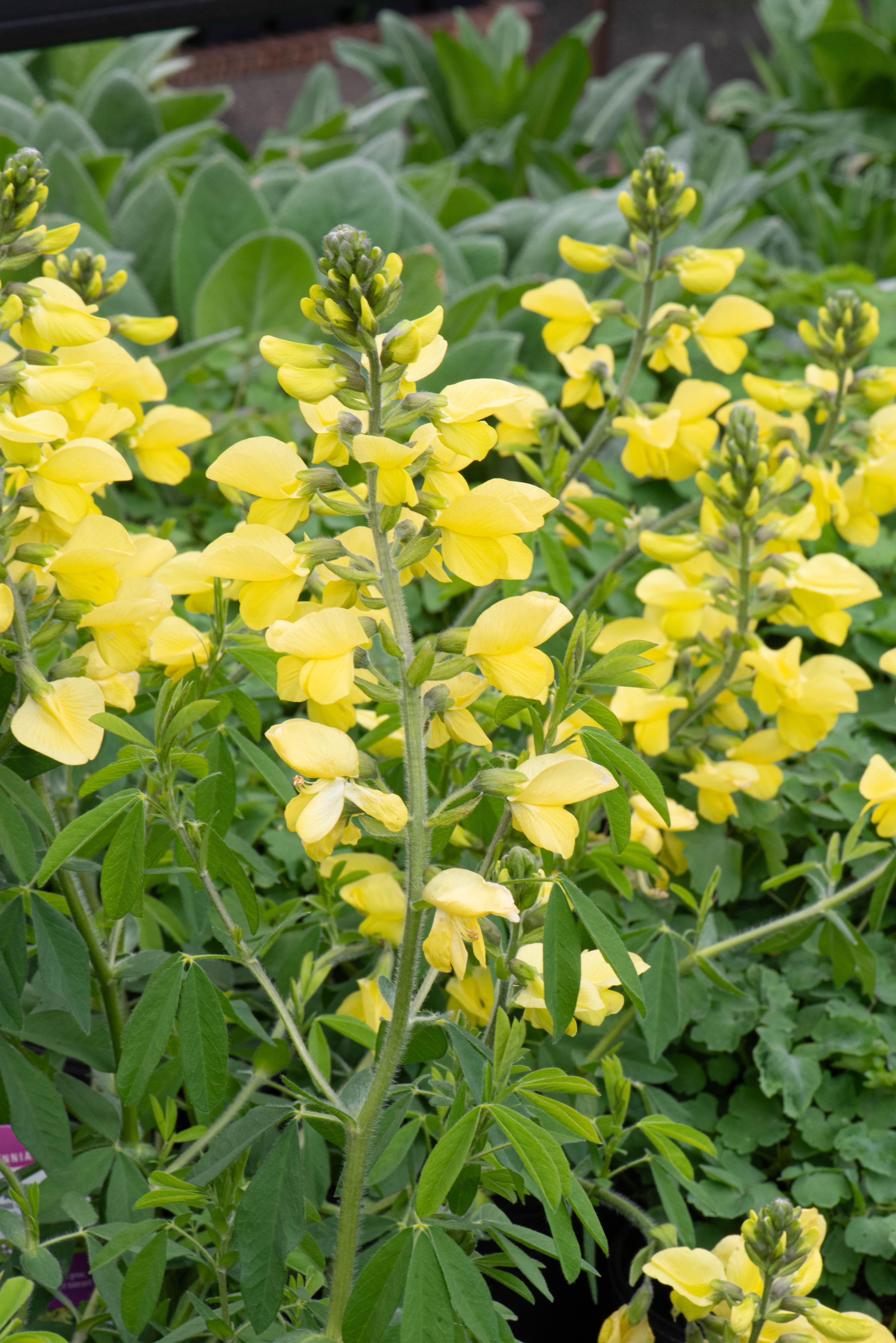 Thermopsis chinensis 'Sophia', Pea Bush, perennial, sun, drought tolerant, Merrifield Garden Center