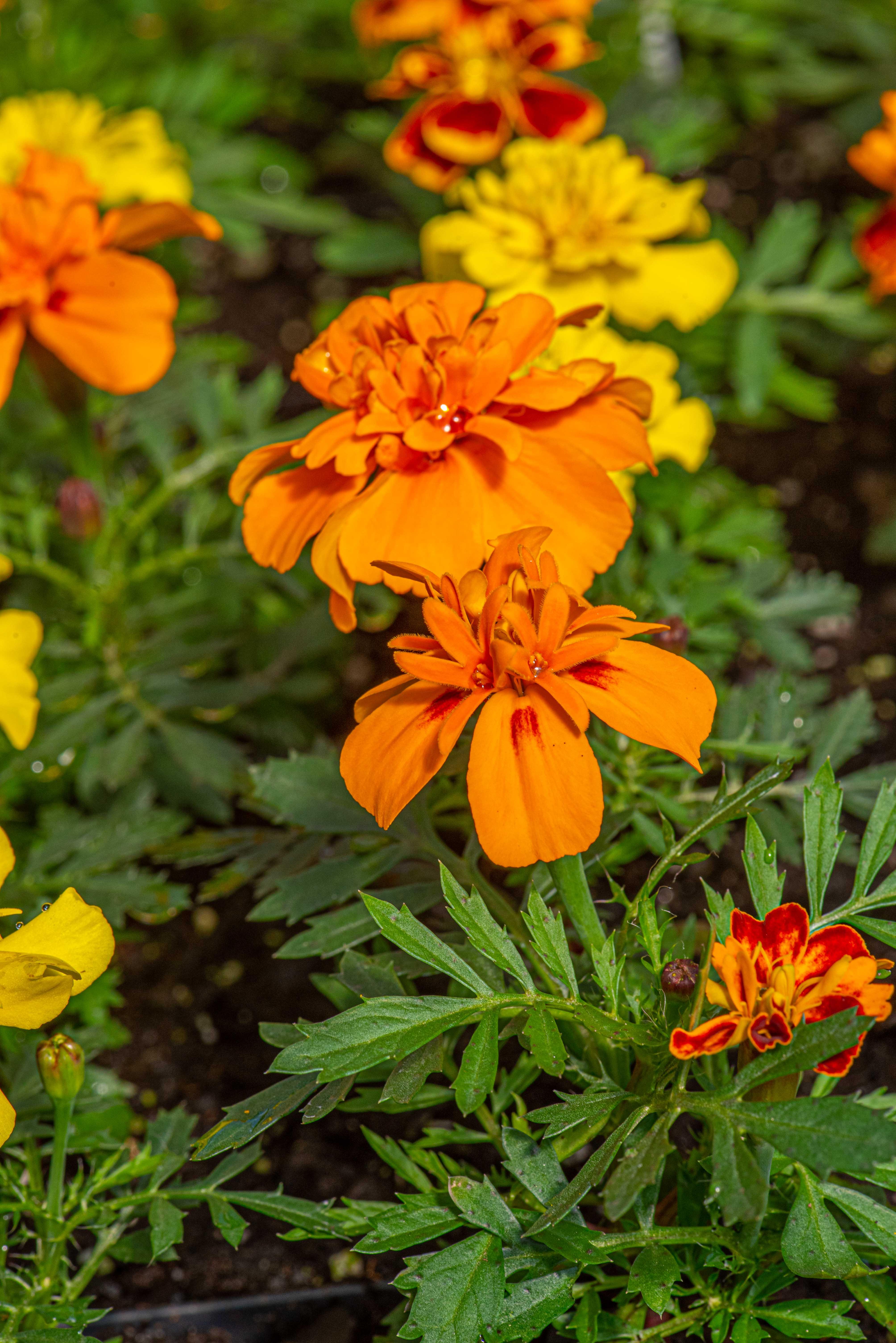 Marigold Disco Mix, Annual, full sun, Merrifield Garden Center