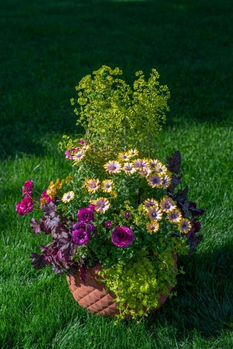 Osteospermum, Ranunculus and Euphorbia Container