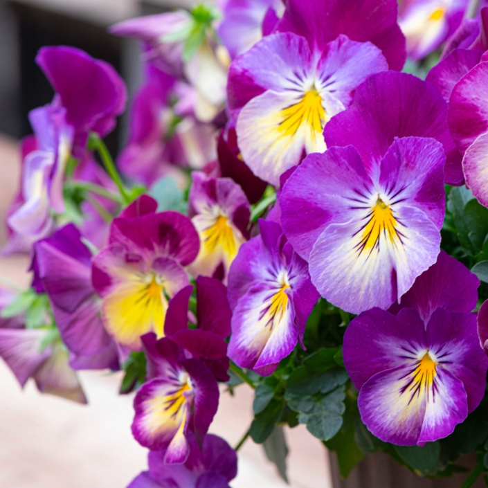 Pansy, annual, full sun