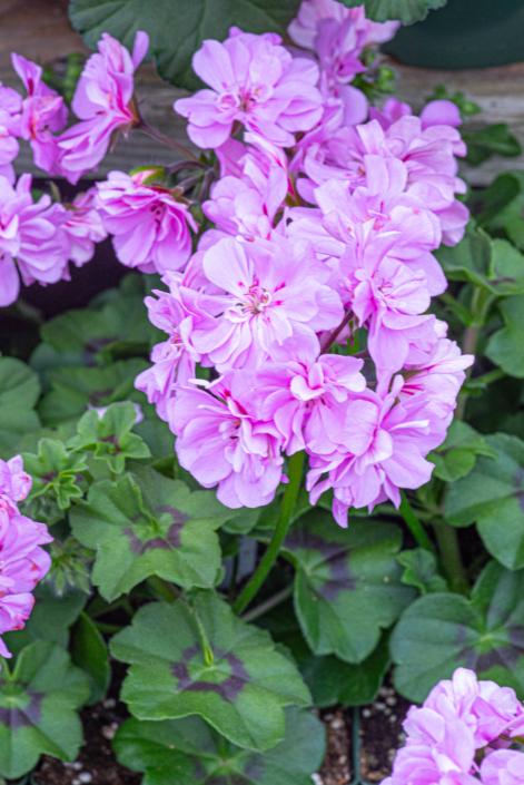 Ivy Geranium, Annual, Sun, Merrifield Garden Center