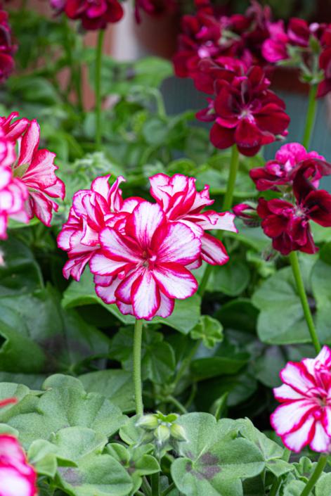 Ivy Geranium, Annual, Full sun, Merrifield Garden Center