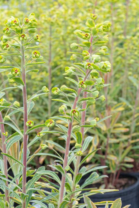 Euphorbia x martinii 'Ascot Rainbow', Flowering Spurge, perennial, sun to part shade, Merrifield Garden Center