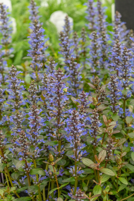 Ajuga reptans 'Chocolate Chip', Bugleweed, perennial, groundcover, sun to shade, Merrifield Garden Center