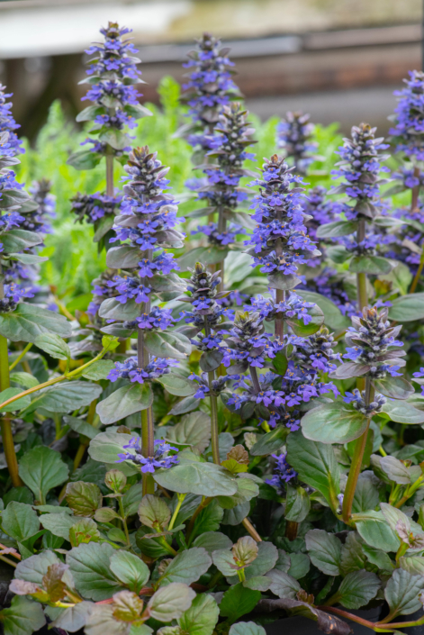 Ajuga reptans 'Catlin's Giant', Bugleweed, perennials, groundcover, sun to shade, Merrifield Garden Center