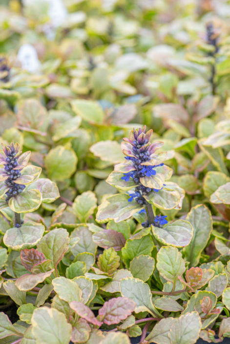 Ajuga reptans'Golden Glow', Bugleweed, perennial, groundcover, sun to shade, Merrifield Garden Center