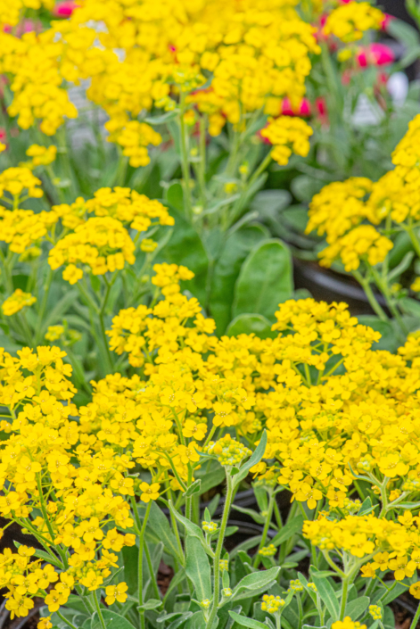 Aurinia 'Golden Yellow', Golden Alyssum, perennial, full sun, Merrifield Garden Center