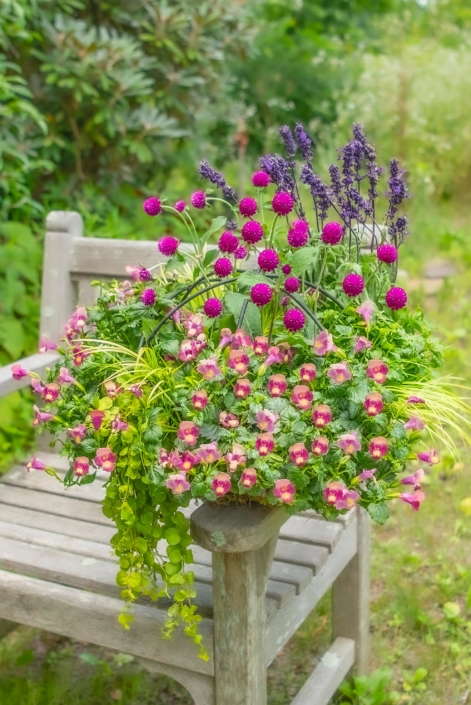 Spring Container with Gomphrena and Torenia