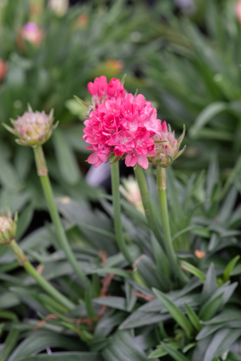 Armeria pseudarmeria 'Dreameria Dream Weaver' Sea Pinks, perennial, full sun, Merrifield Garden Center