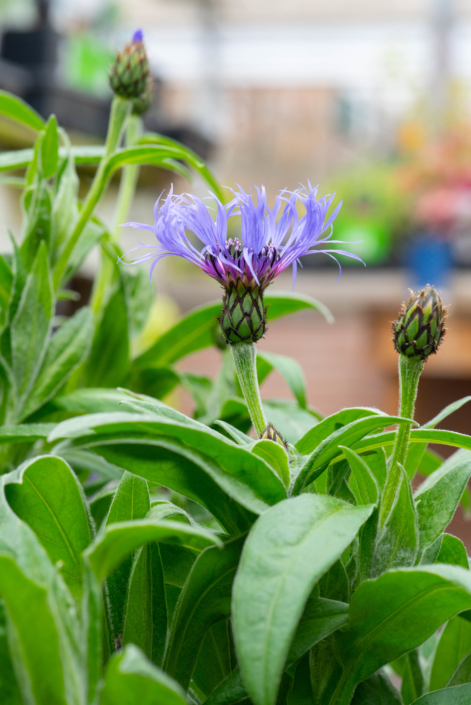 Centaurea montana, Mountain Bluet, Cornflower, perennial, full sun, Merrifield Garden Center