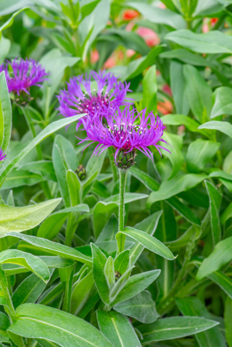 Centaurea 'Amethyst Dream', Bachelor's Button, full sun, perennial, Merrifield Garden Center