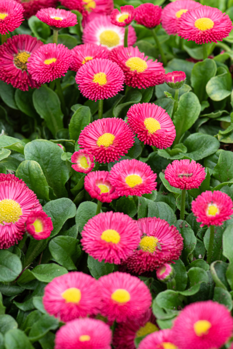 Bellis Perennis 'Speedstar Plus Red', English Daisy, perennial, sun to part sun, Merrifield Garden Center