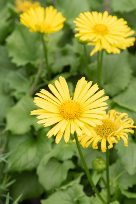 Doronicum 'Little Leo', Leopard's Bane, perennial, Merrifield Garden Center