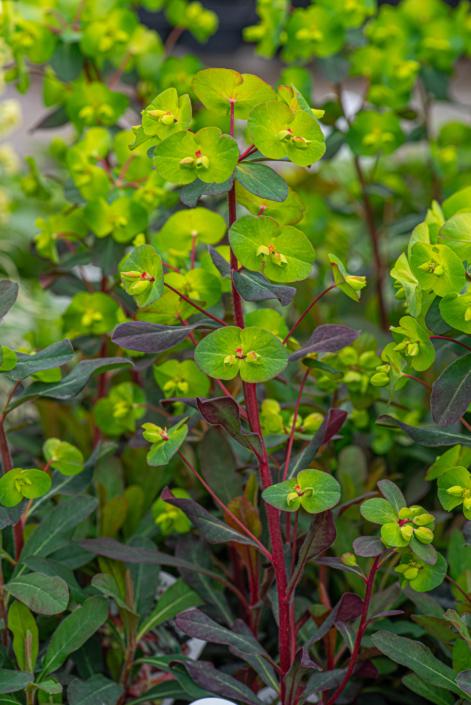 Euphorbia amygdaloides, 'Purpurea', Wood Spurge, perennial, sun to part sun, Merrifield Garden Center