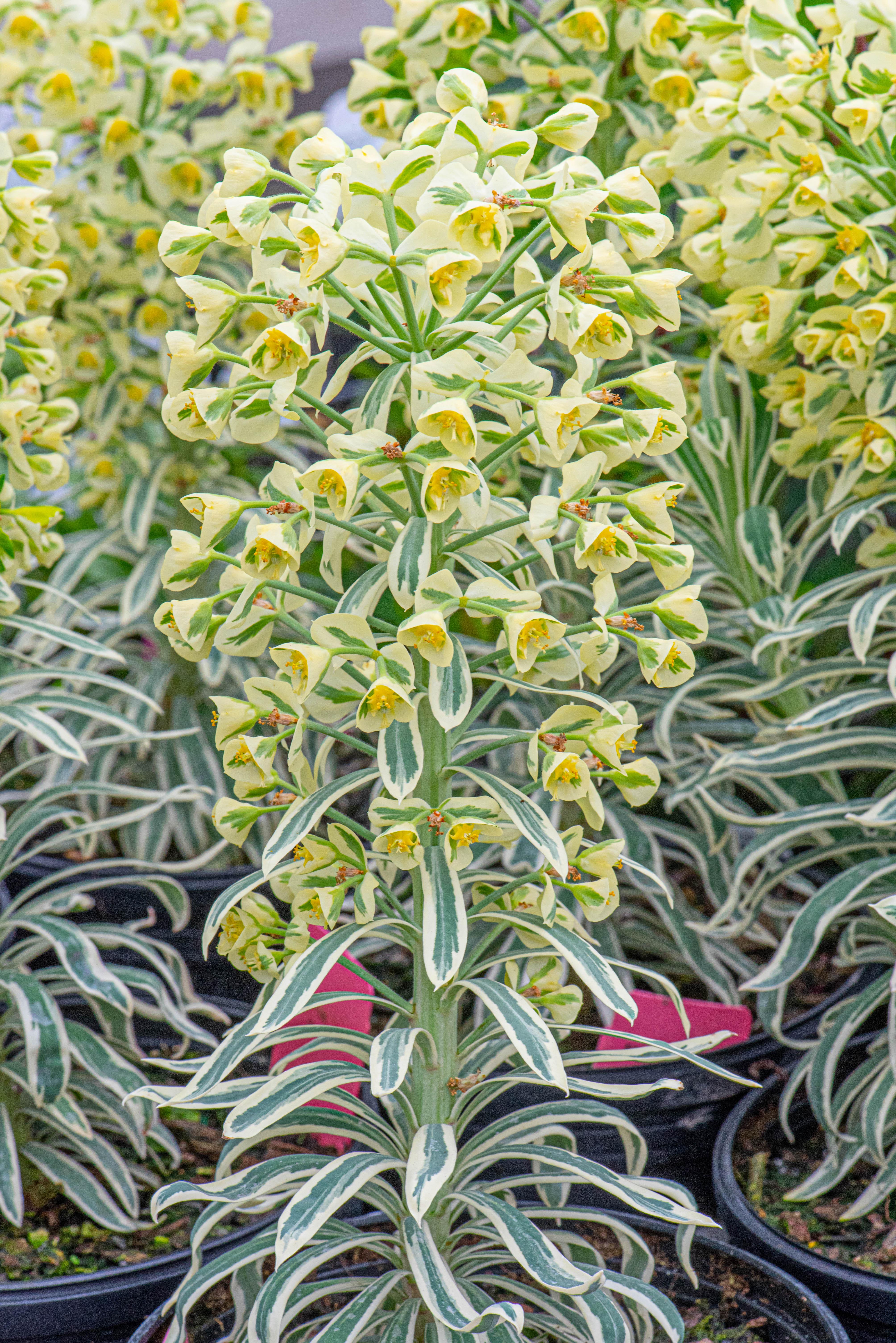 Euphorbia characias 'Tasmanian Tiger', Euphorbia, perennial, sun to part sun