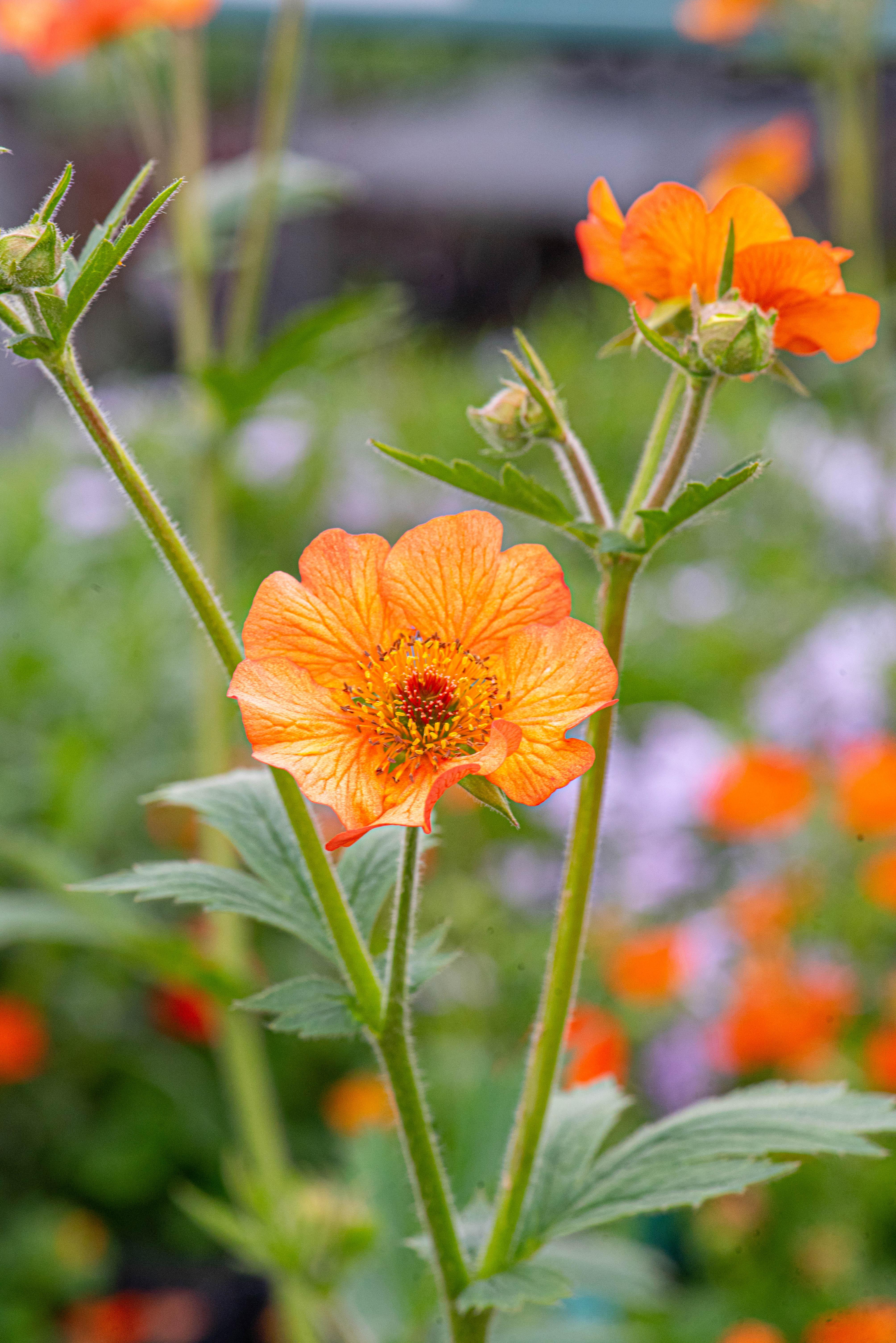 Geum Coccineum 'Totally Tangerine', Avens, perennial, sun to part sun, Merrifield Garden Center