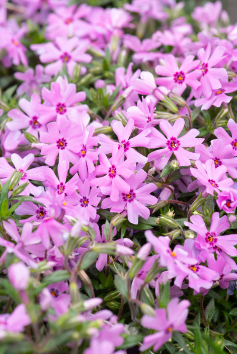 Phlox subulata 'Fort Hill', perennial, spreading, ground cover, border, full sun, deer resistant