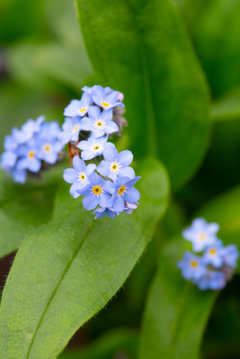 Myosotis sylvatica 'Victorian Blue', Forget-me-not, perennial, evergreen, Merrifield Garden Center