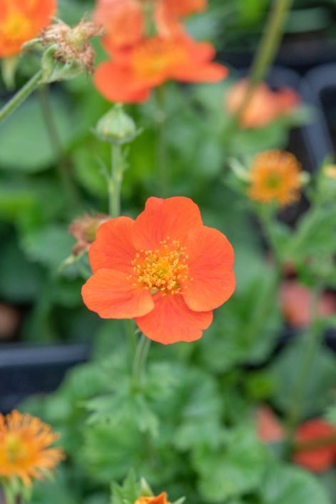 Geum coccineum 'Koi', Avens, perennial, full sun, Merrifield Garden Center