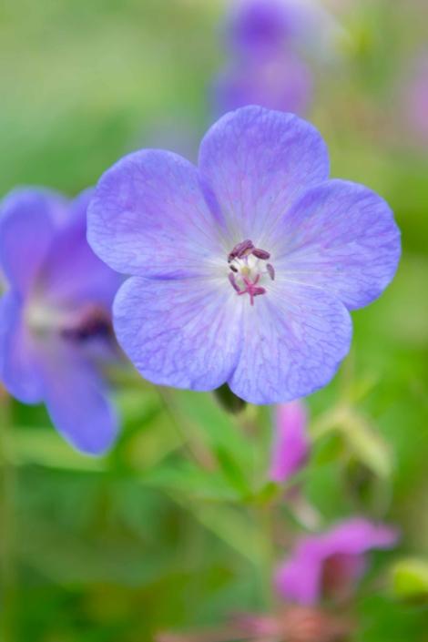 Hardy Geranium 'Johnson's Blue', Perennial, Full Sun