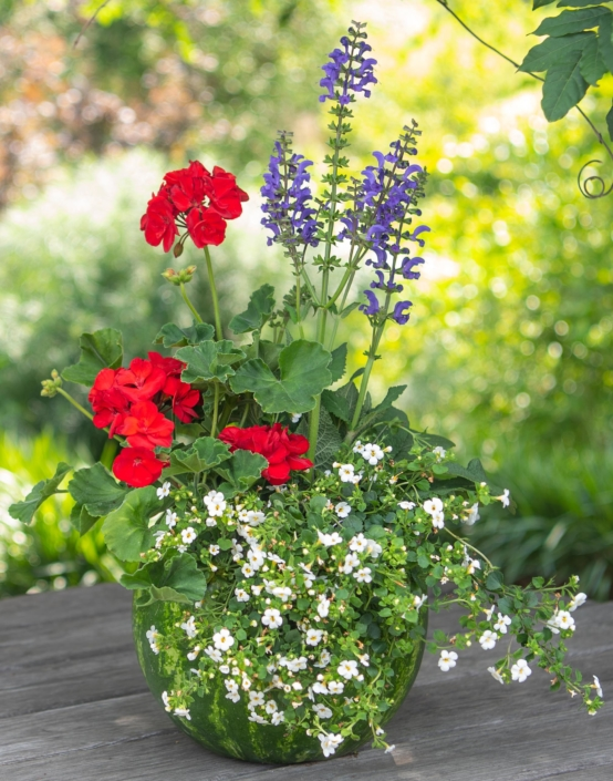 Summer Watermelon Container with Bacopa and Geranium