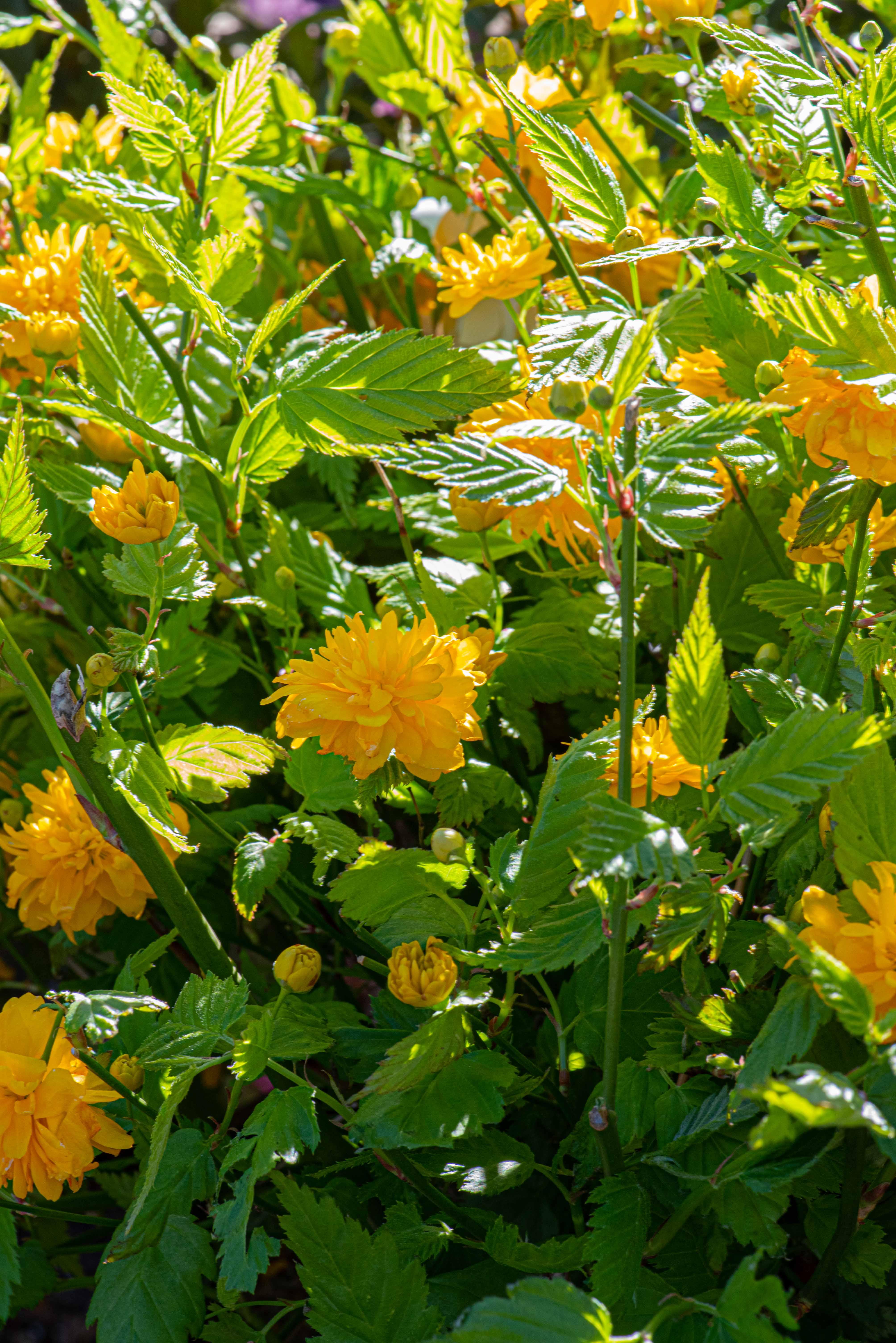 Kerria japonica 'Pleniflora', Shrub, Japanese Marigold Bush, Part Shade