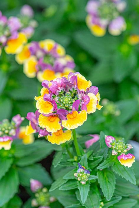 Nemesia 'SunGlow Yellow Bicolor', Annual, Full Sun