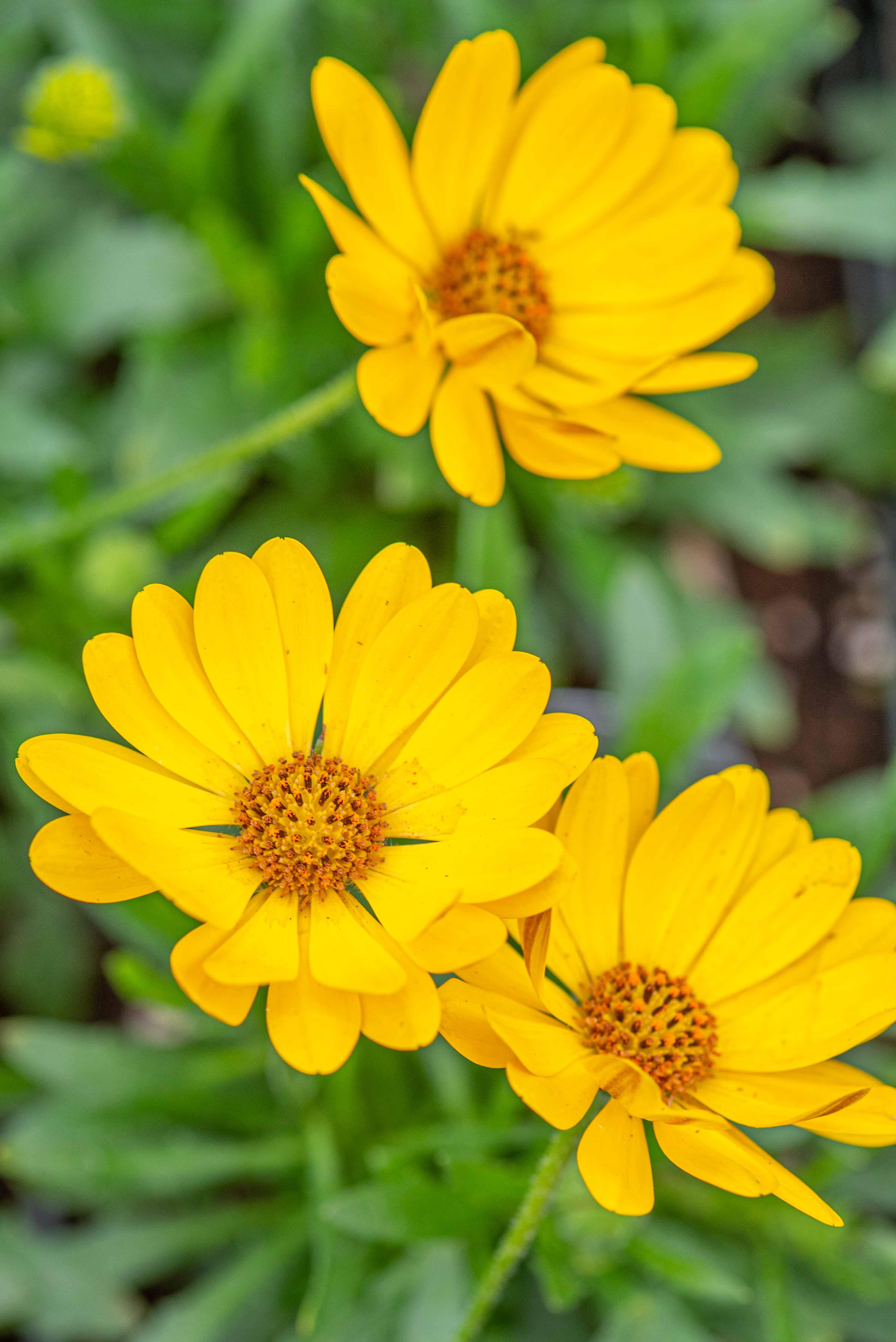Osteospermum 'Tradewinds Yellow' Annual, full sun, African Daisy
