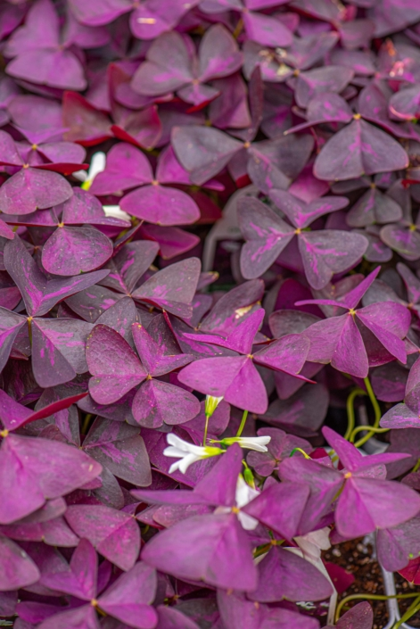 Oxalis 'Charmed Wine', Annual, Part sun to shade, shamrock