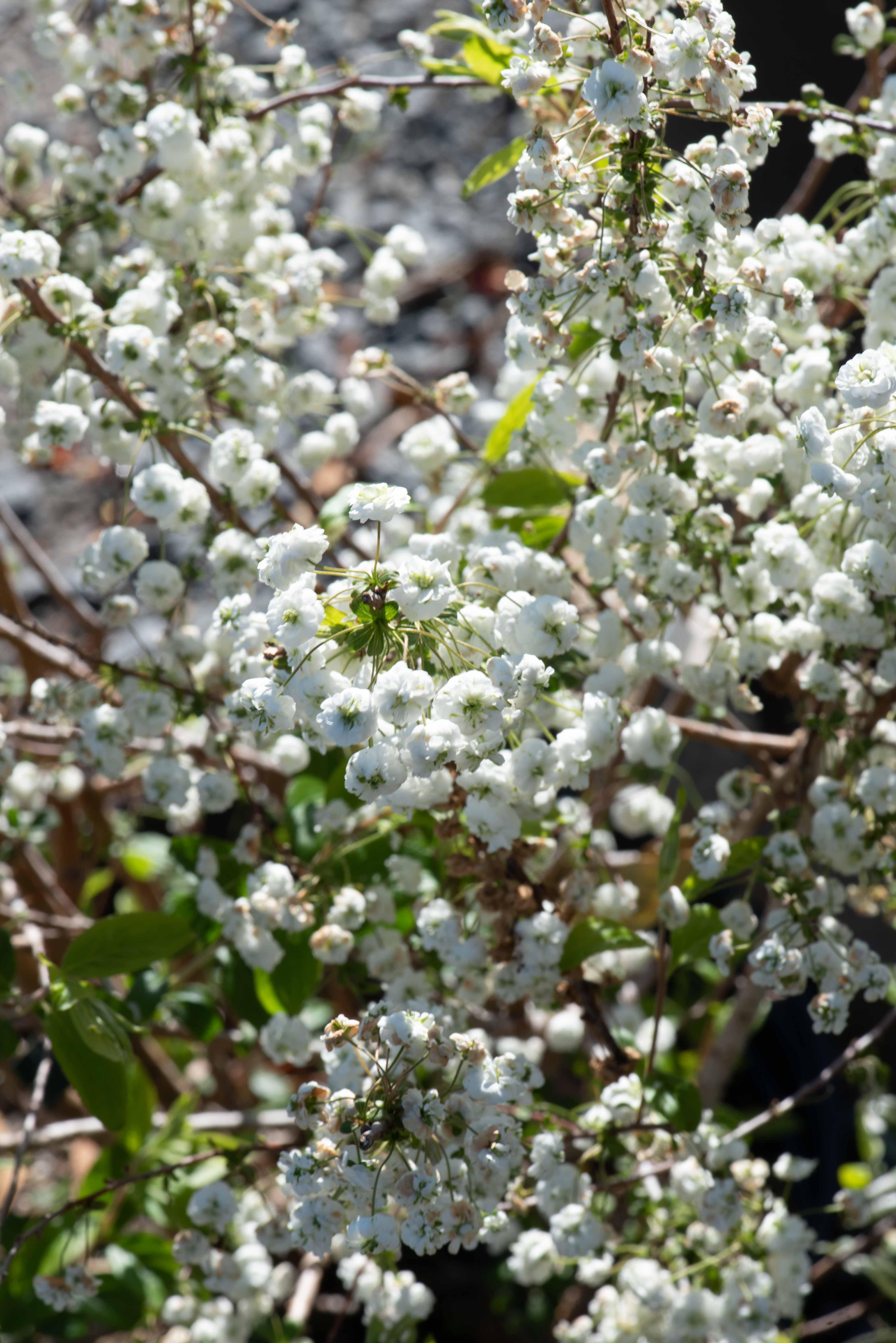 Spirea prunifolia, Bridalwreath Spirea, Shrub