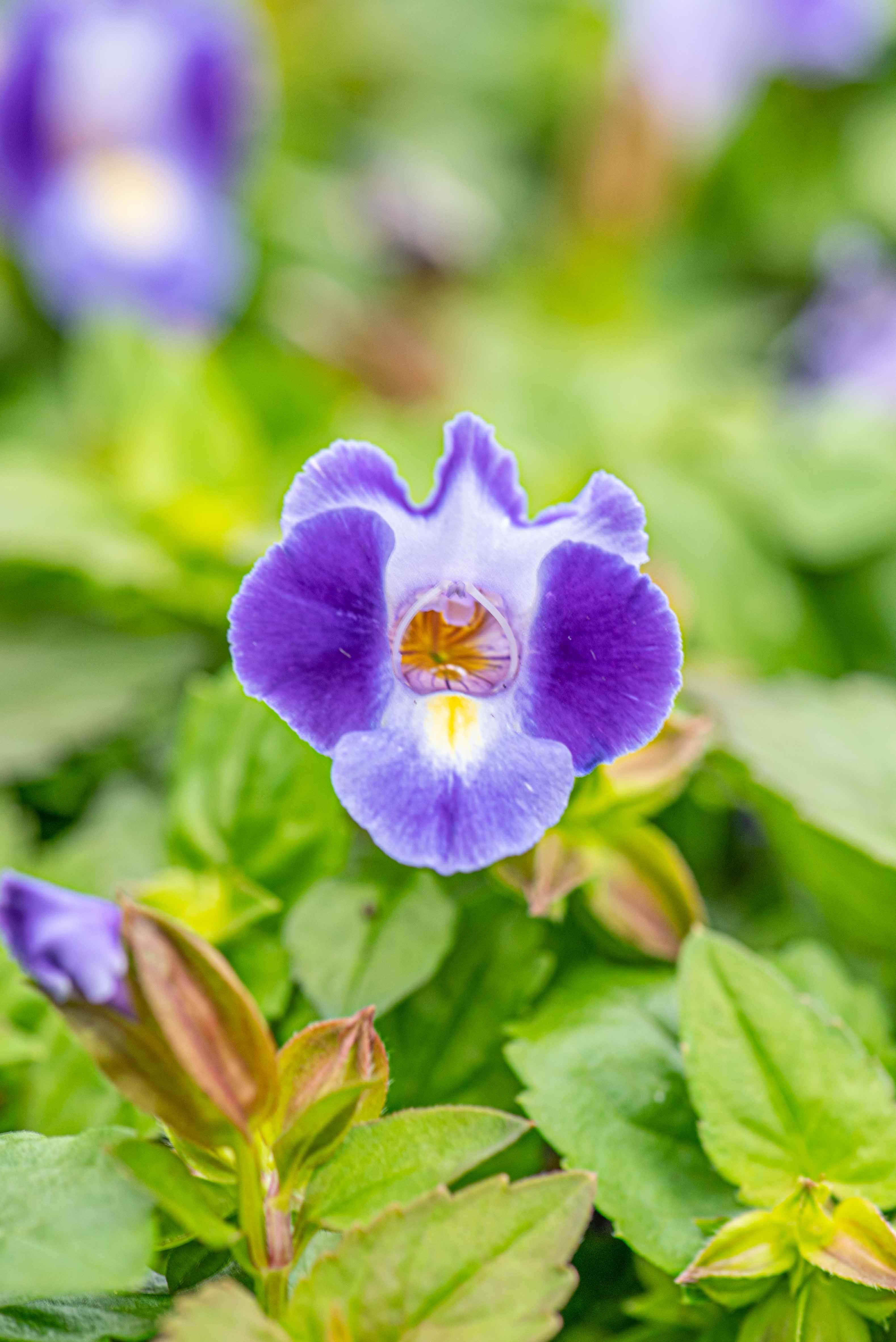 Torenia 'Catalina Midnight Blue', Annual, Wishbone Flower, Sun to Shade