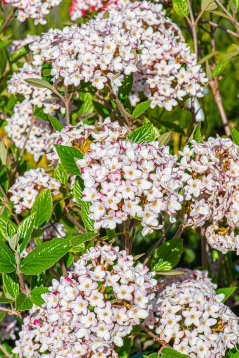 Viburnum × burkwoodii 'Mohawk', Shrub