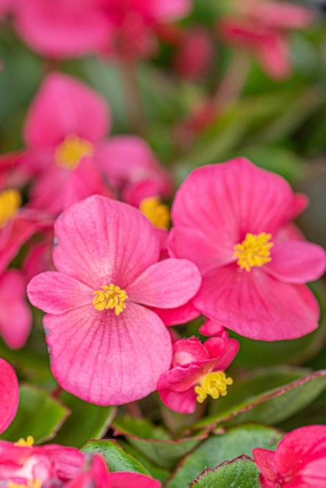 Wax Begonia 'Prelude Rose', Annual