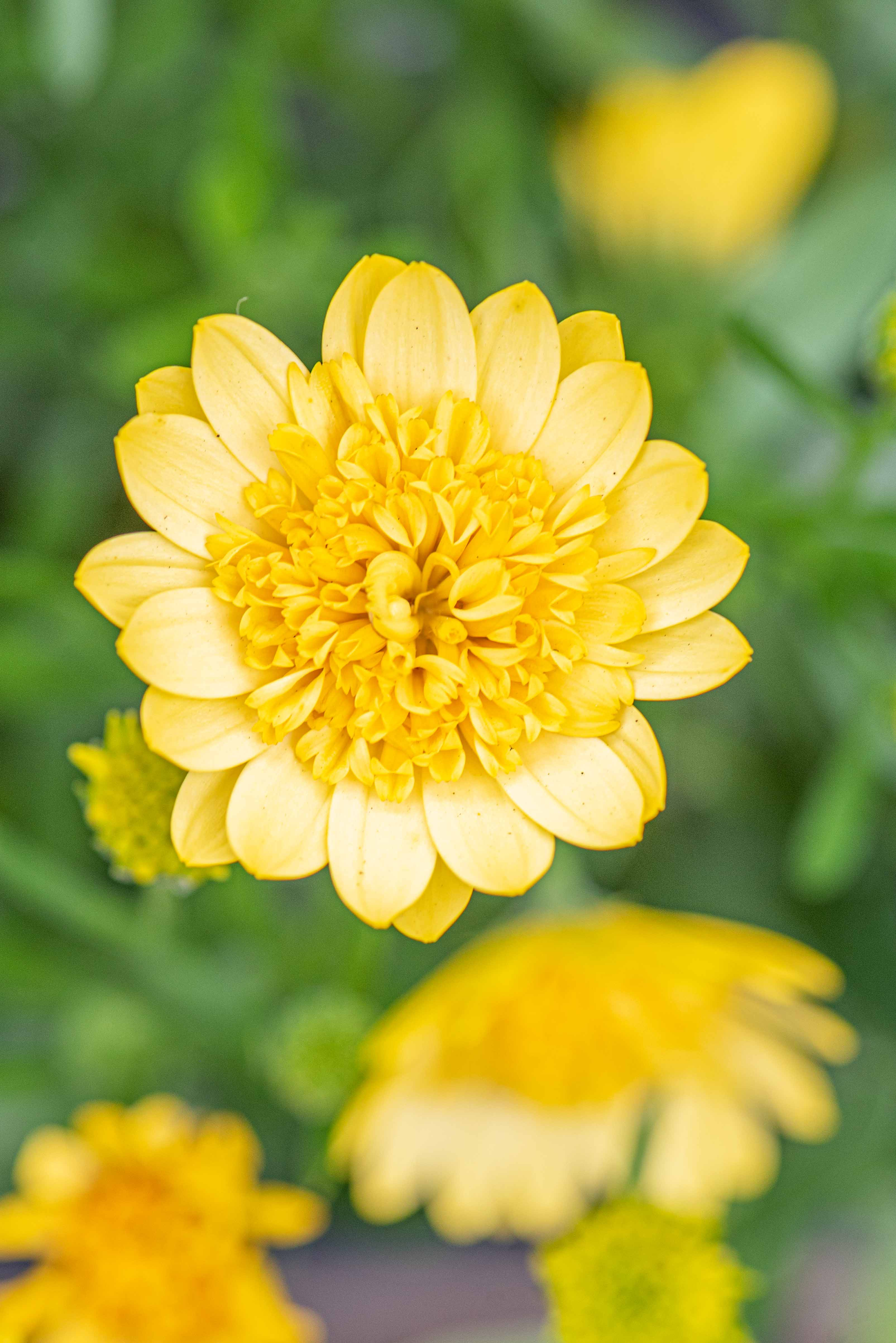 Osteospermum '4D Sunburst', Annual, African Daisy, Full Sun