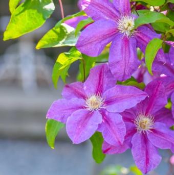Clematis, Perennial