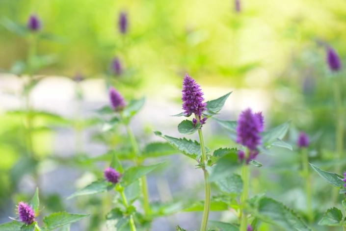 Agastache, Perennial