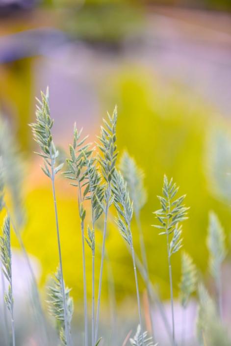 Fetusca, Perennial