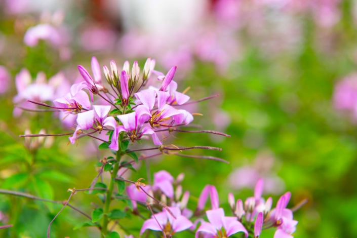 Cleome, Annual