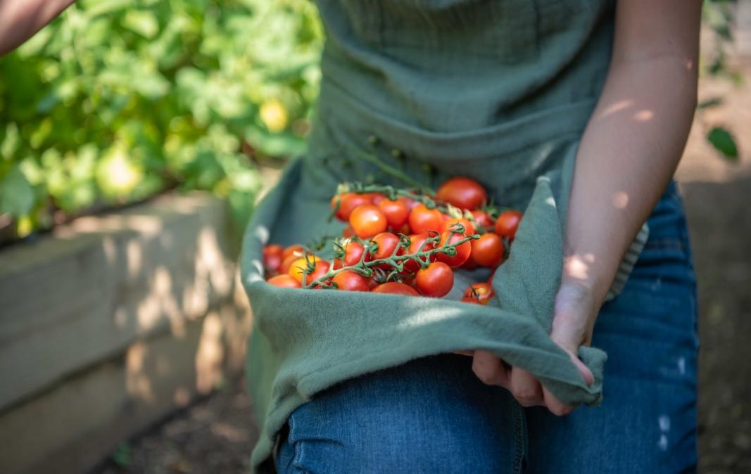 Tomato Garden Harvest, Vegetable Garden, Summer