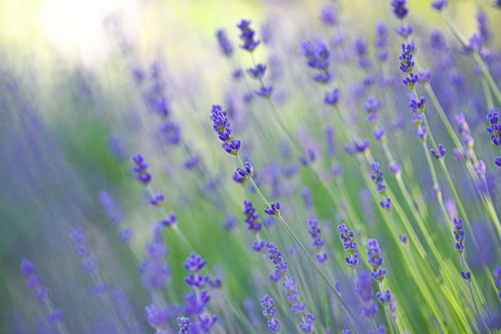 Lavender, Perennial