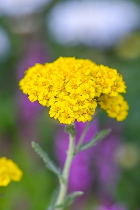 Yarrow, Perennial
