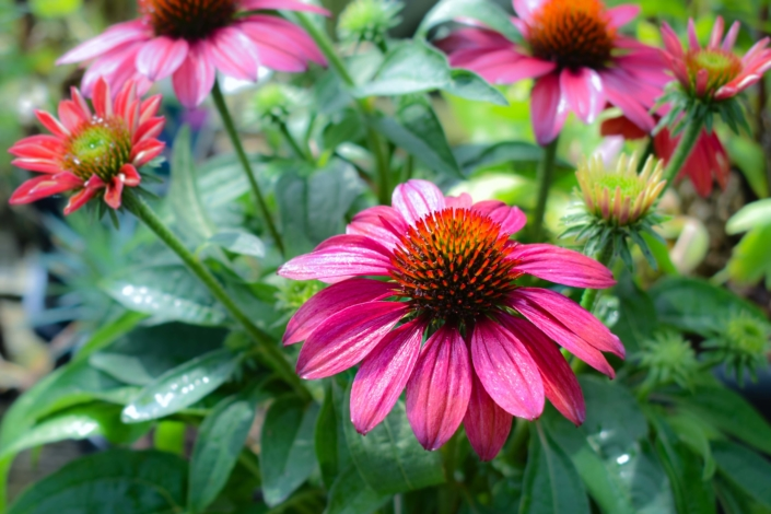 Coneflower, Perennial