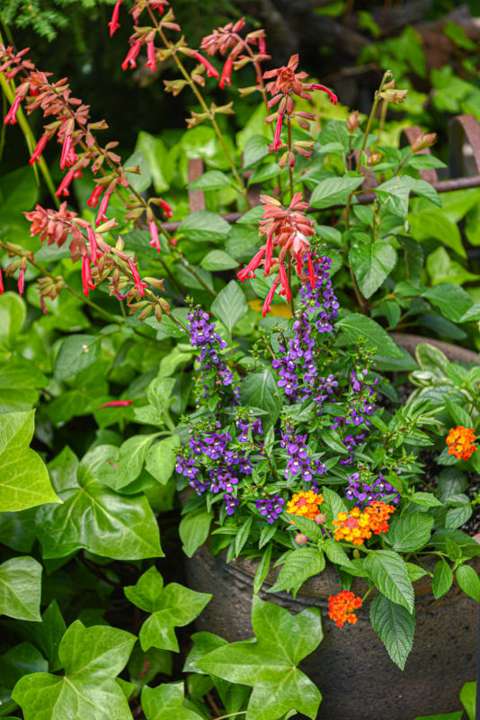 Container Garden for Pollinators with Agastache, Angelonia, Lantana