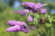 Butterfly Bush, Shrub