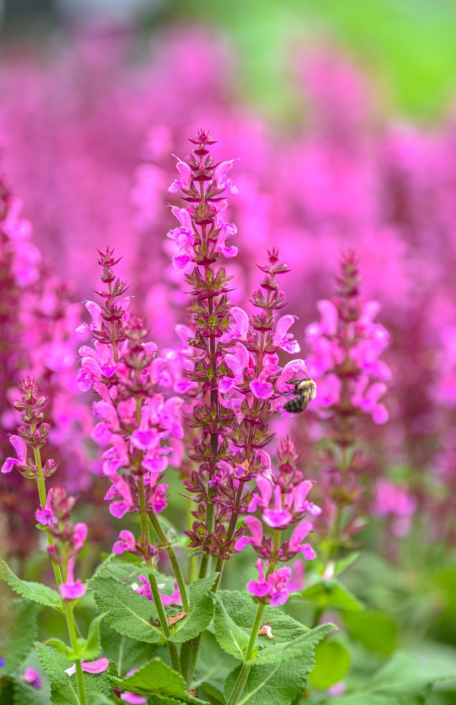 Meadow Sage, Perennial