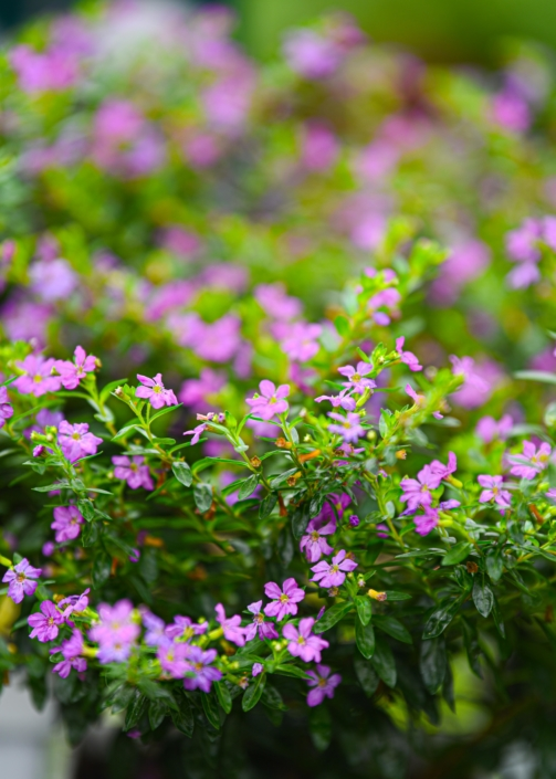 Mexican Heather, Annual