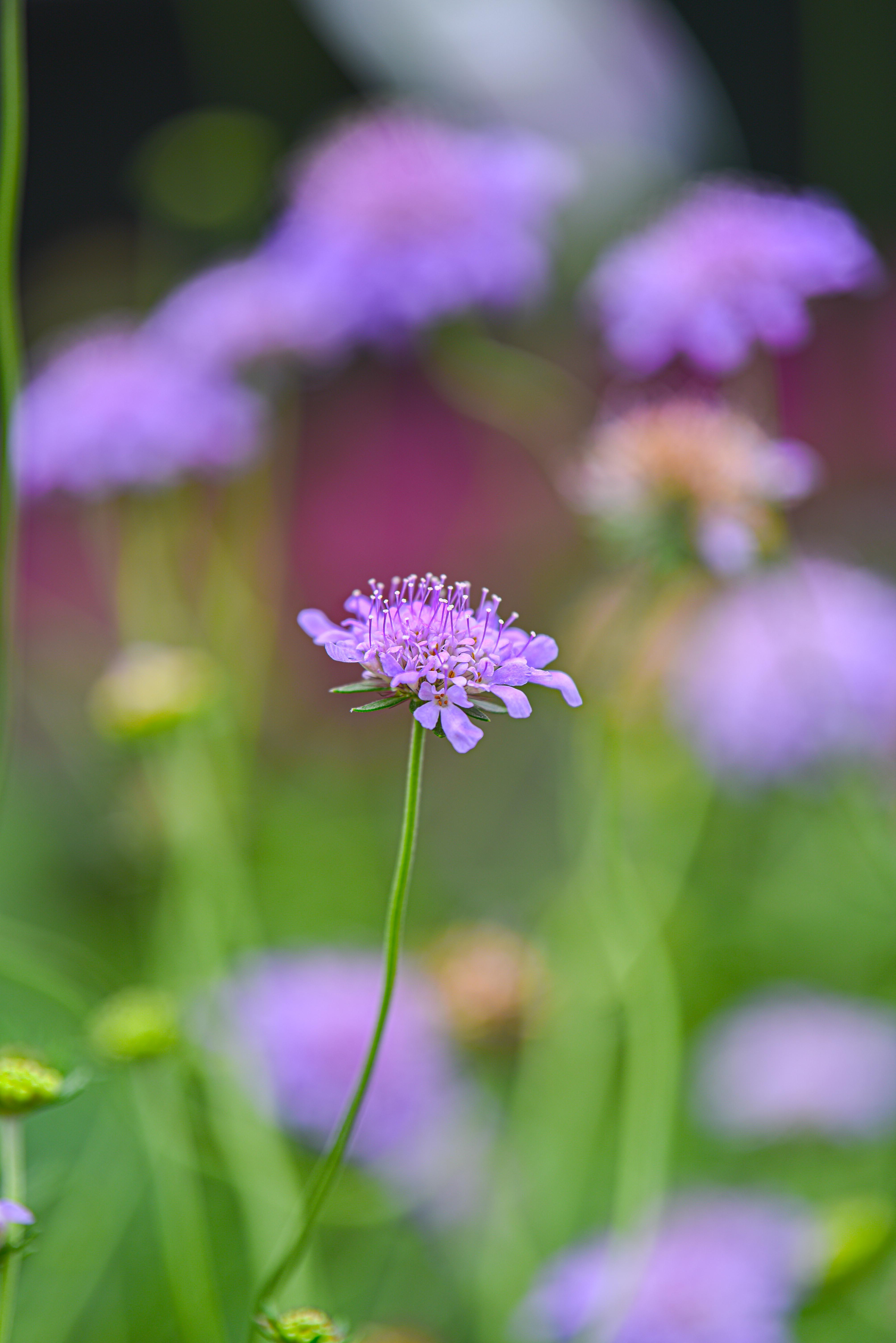 Pin Cushion Flower, Perennial