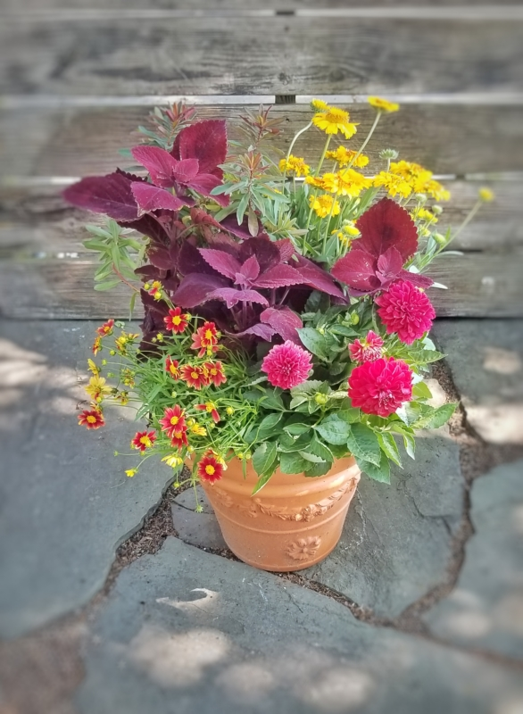 Summer Container Garden for pollinators with coreopsis and euphorbia with annual dahlia and coleus