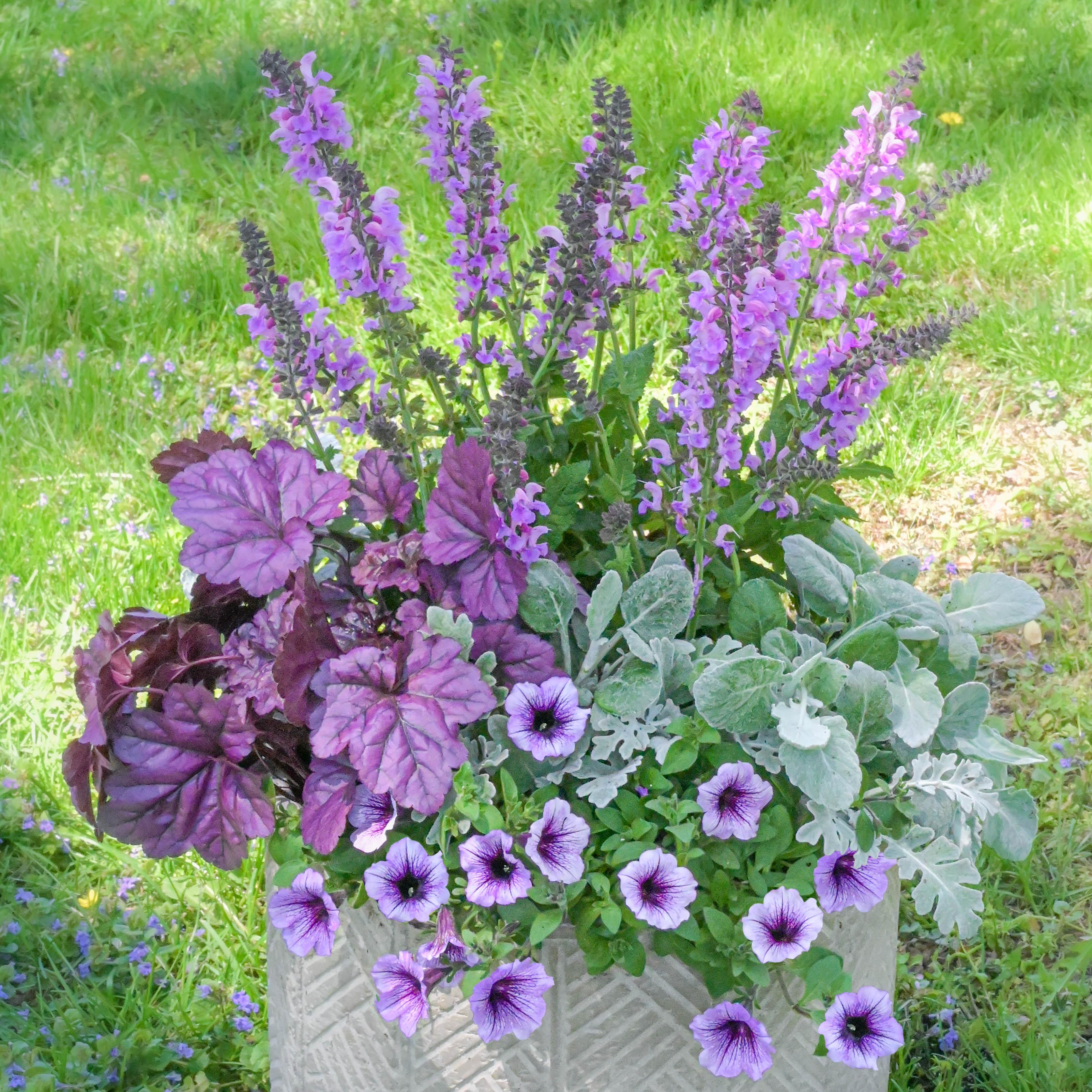 Sun Container - Calibrachoa, Lamb's Ear, Salvia and Heuchera