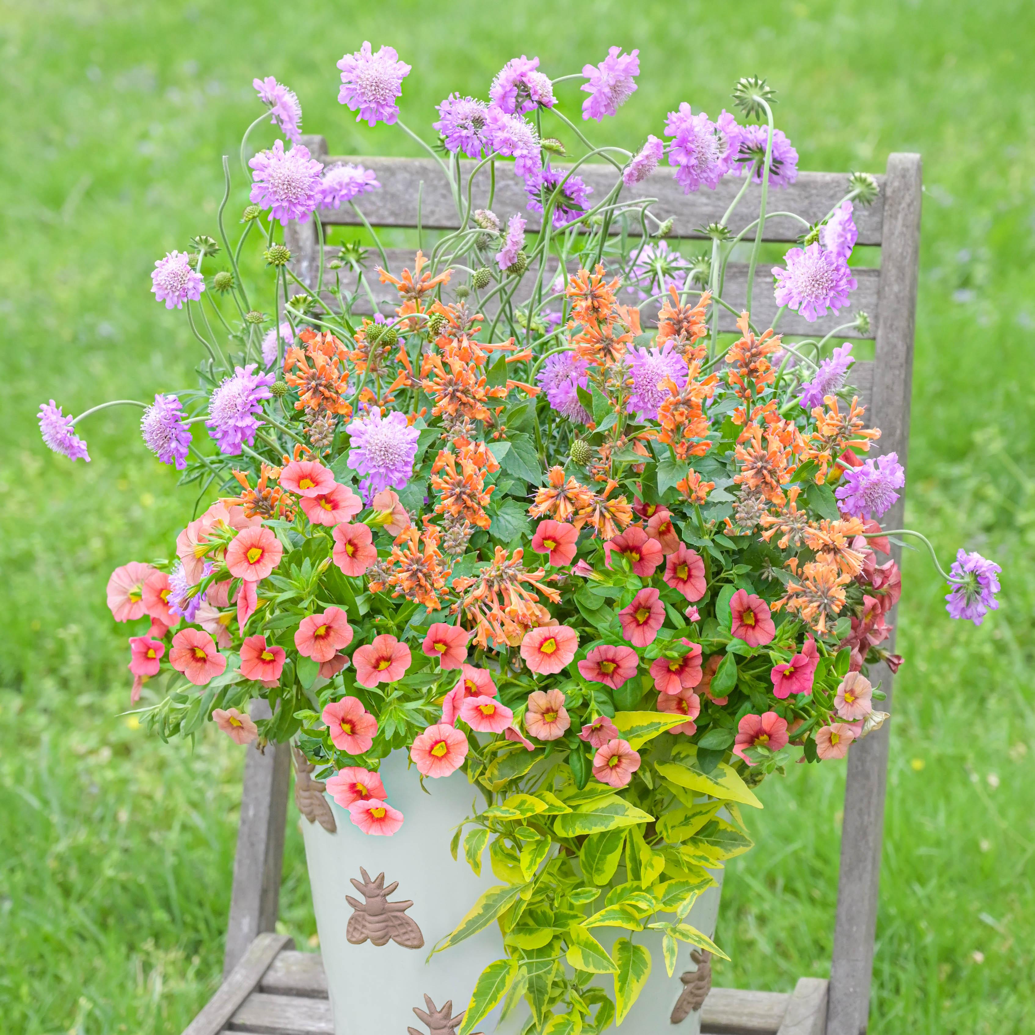 Pollinator Container: Calibrachoa, Sweet Potato Vine, Scabiosa, Agastache